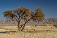 Acacia Tree in Negev 150930-8
