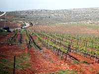 Vineyards of the Shilo Region 2