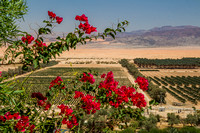 Bougainvilleas Overlooking Fields of Groft