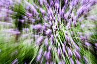 Lavender Abstract 6