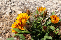 Yellow-Red Gazania 4