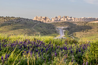 Lupins with Ramat Beit Shemesh in Background 190226-1