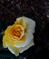 A Yellow Rose has its Own Beauty