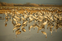 Hula Valley Cranes in Winter