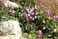 Cyclamens Among Rocks