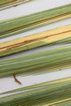 Section of Palm Branches - Lulav