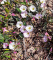 Field Bindweed 4