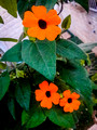 Black-eyed Susan Vine 4